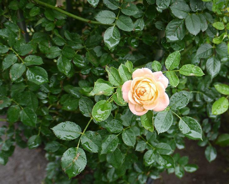 スイートドリーム(ツルバラ)の2番花が咲いた。2016年-1.jpg