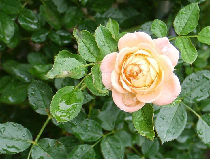 スイートドリーム(ツルバラ)の2番花が咲いた。2016年-2.jpg