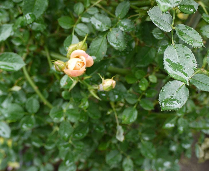 スイートドリーム(ツルバラ)の2番花が咲いた。2016年-4.jpg
