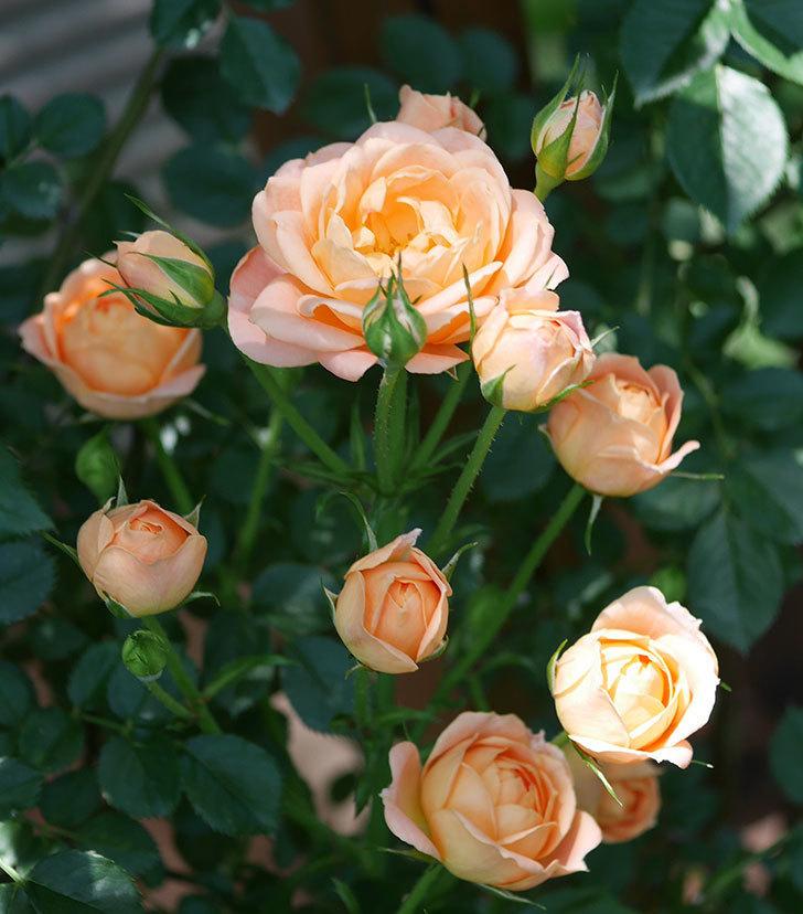 スイートドリーム(ツルバラ)の2番花が咲いた。2018年-1.jpg