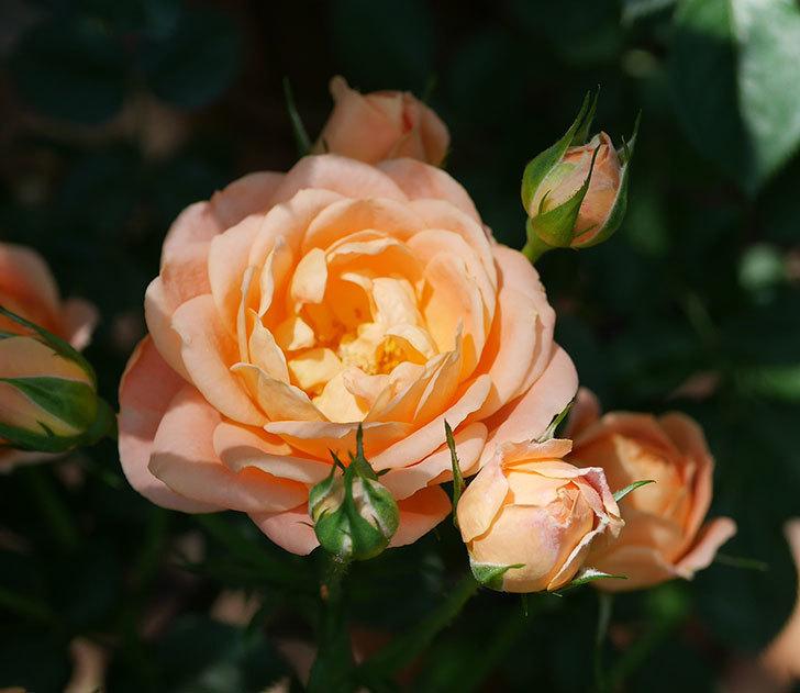 スイートドリーム(ツルバラ)の2番花が咲いた。2018年-2.jpg