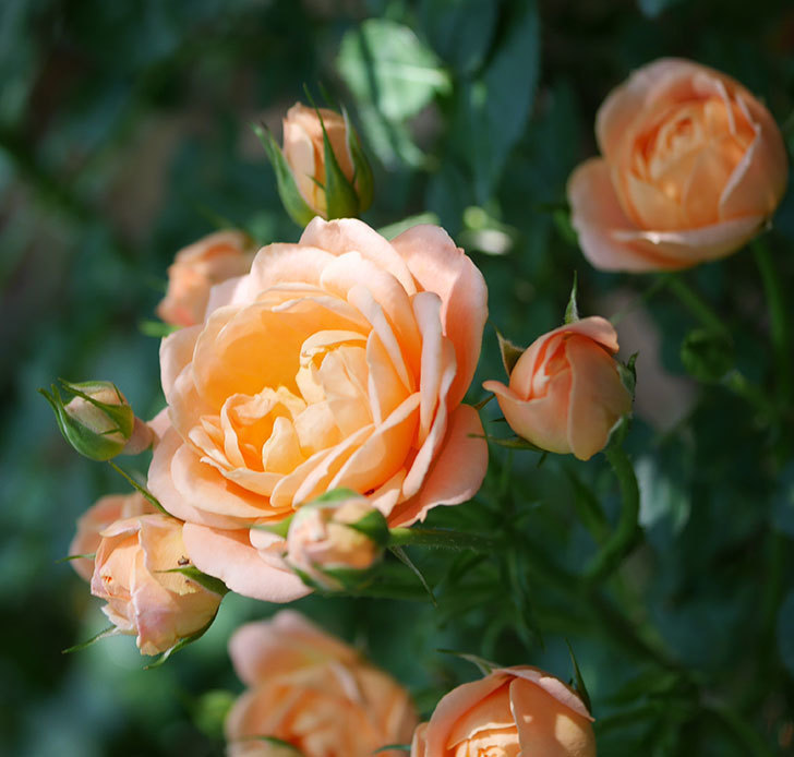 スイートドリーム(ツルバラ)の2番花が咲いた。2018年-3.jpg
