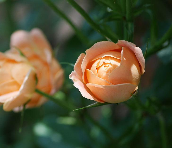 スイートドリーム(ツルバラ)の2番花が咲いた。2018年-4.jpg