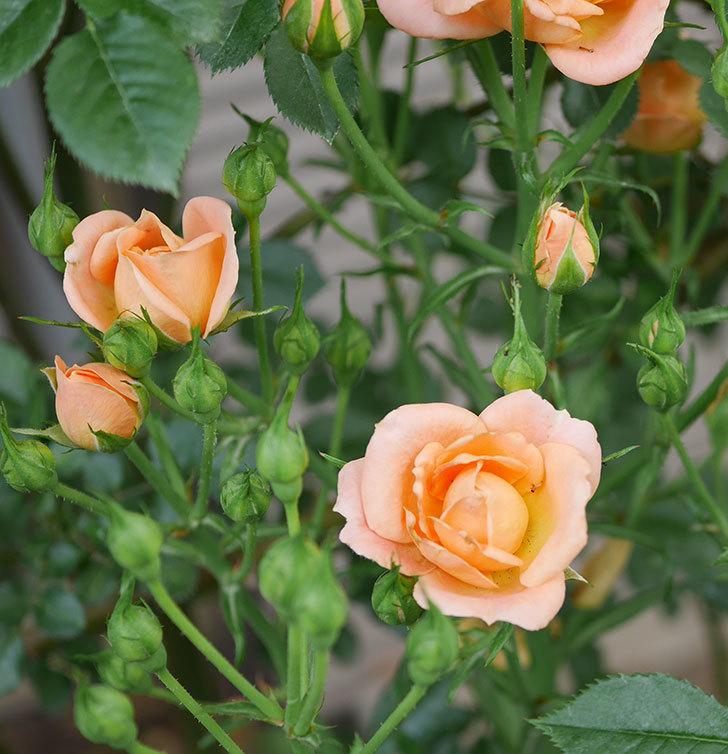 スイートドリーム(ツルバラ)の2番花が咲いた。2019年-1.jpg
