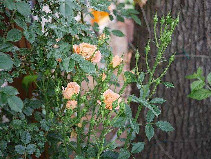 スイートドリーム(ツルバラ)の2番花が咲いた。2019年-2.jpg