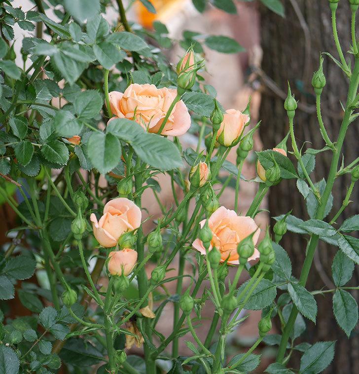 スイートドリーム(ツルバラ)の2番花が咲いた。2019年-3.jpg