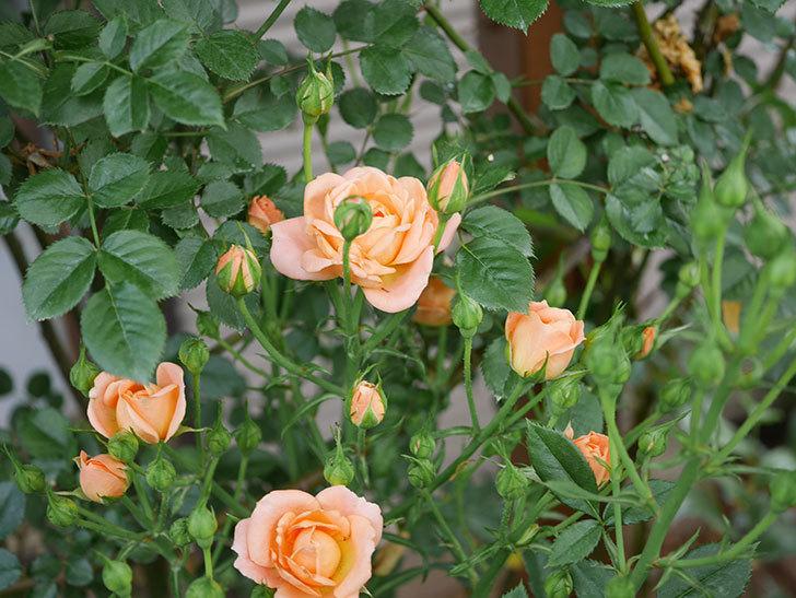 スイートドリーム(ツルバラ)の2番花が咲いた。2019年-4.jpg