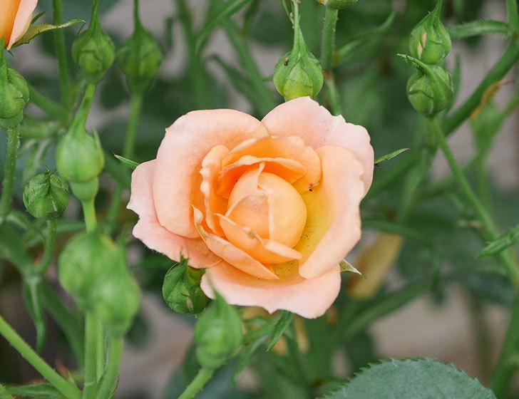 スイートドリーム(ツルバラ)の2番花が咲いた。2019年-5.jpg