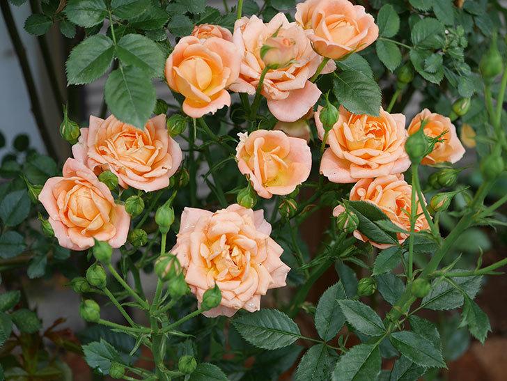 スイートドリーム(ツルバラ)の2番花が増えて来た。2019年-1.jpg