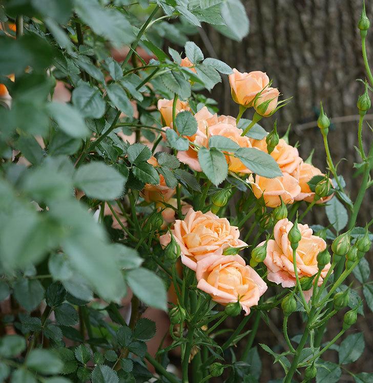 スイートドリーム(ツルバラ)の2番花が増えて来た。2019年-2.jpg