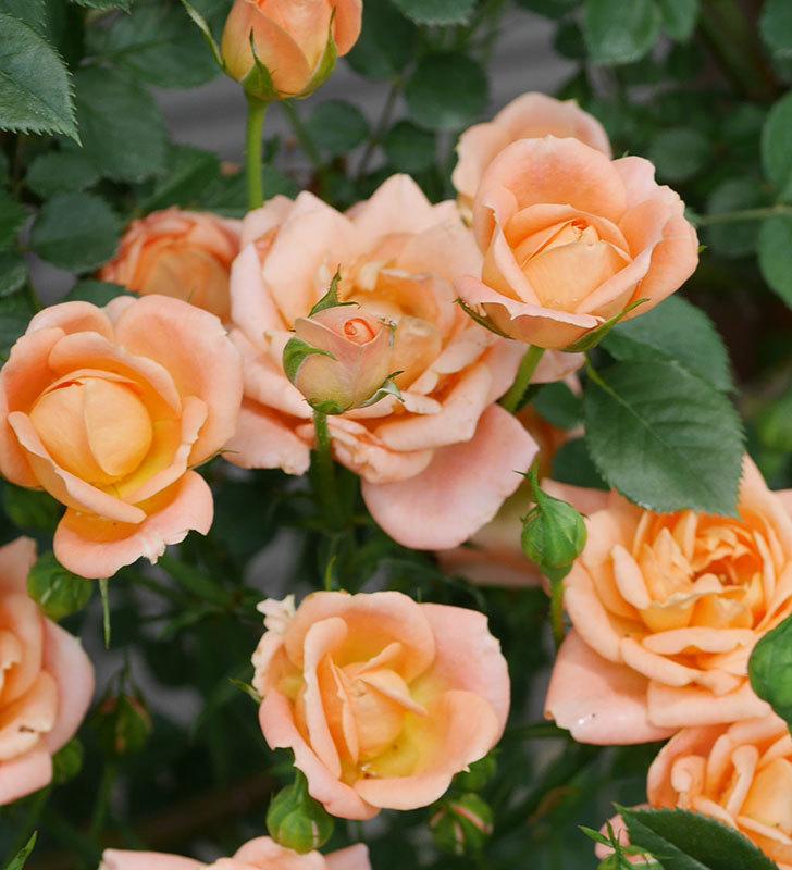 スイートドリーム(ツルバラ)の2番花が増えて来た。2019年-3.jpg