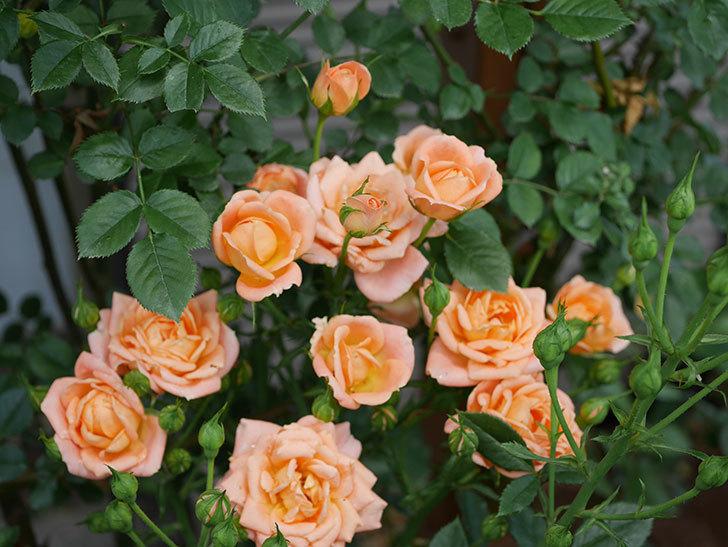 スイートドリーム(ツルバラ)の2番花が増えて来た。2019年-4.jpg