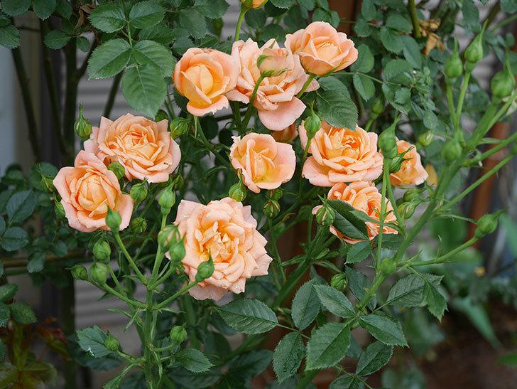 スイートドリーム(ツルバラ)の2番花が増えて来た。2019年-5.jpg