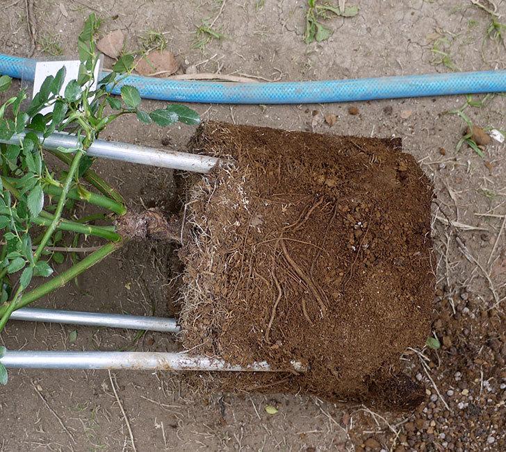 スイートドリーム(ツルバラ)の8号あんどん仕立てを地植えした。2016年-3.jpg