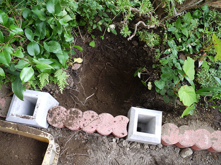 スイートドリーム(ツルバラ)の8号あんどん仕立てを地植えした。2016年-5.jpg