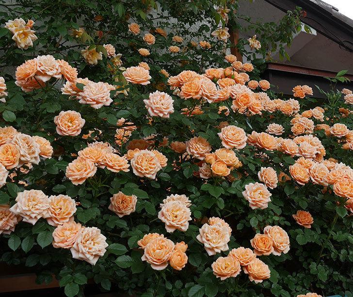 スイートドリーム(ツルバラ)の花がたくさん咲いた。2019年-2.jpg