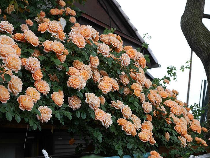 スイートドリーム(ツルバラ)の花がたくさん咲いた。2019年-8.jpg