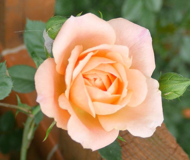 スイートドリーム(ツルバラ)の花が咲いた。2018年-11.jpg