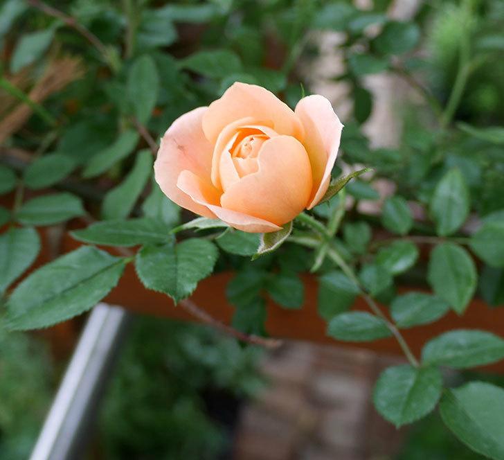 スイートドリーム(ツルバラ)の花が咲いた。2018年-4.jpg