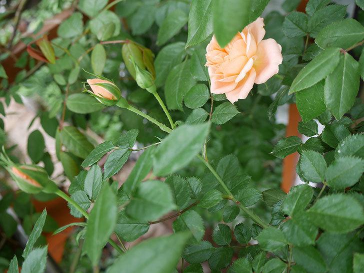スイートドリーム(ツルバラ)の花が咲いた。2018年-5.jpg