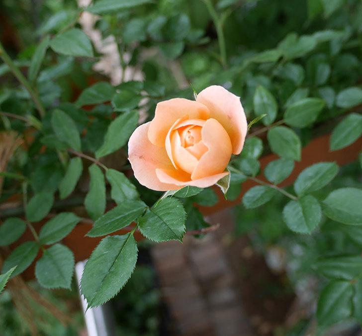 スイートドリーム(ツルバラ)の花が咲いた。2018年-6.jpg
