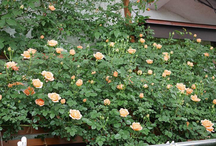 スイートドリーム(ツルバラ)の花が咲いた。2019年-1.jpg