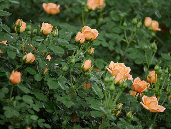 スイートドリーム(ツルバラ)の花が咲いた。2019年-10.jpg