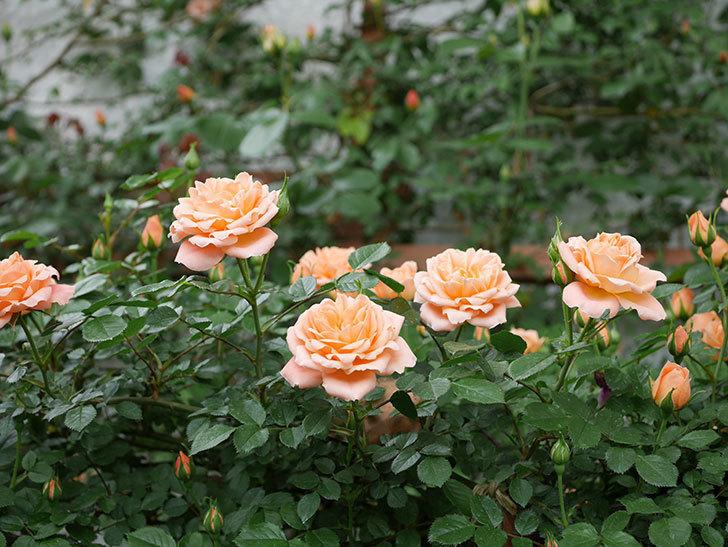 スイートドリーム(ツルバラ)の花が咲いた。2019年-2.jpg