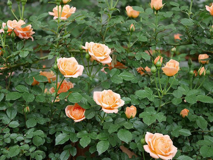 スイートドリーム(ツルバラ)の花が咲いた。2019年-3.jpg