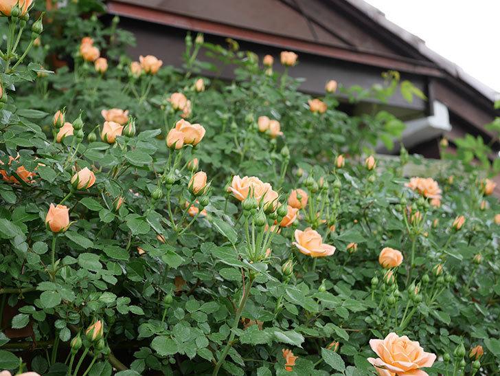 スイートドリーム(ツルバラ)の花が咲いた。2019年-4.jpg