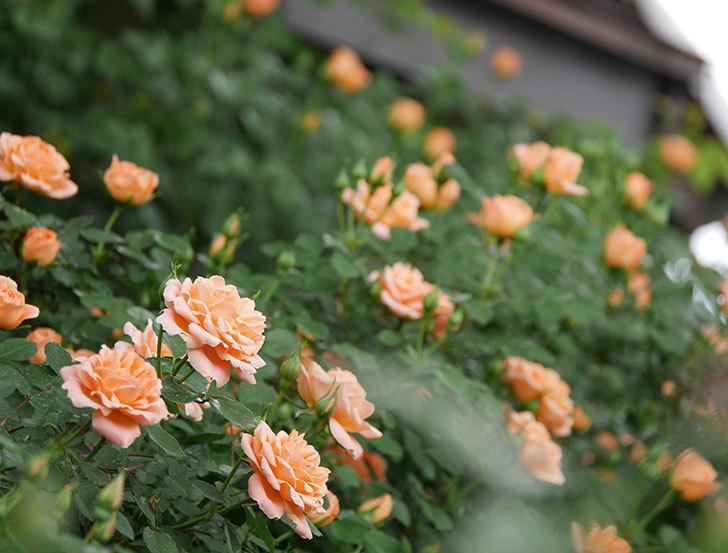 スイートドリーム(ツルバラ)の花が咲いた。2019年-5.jpg