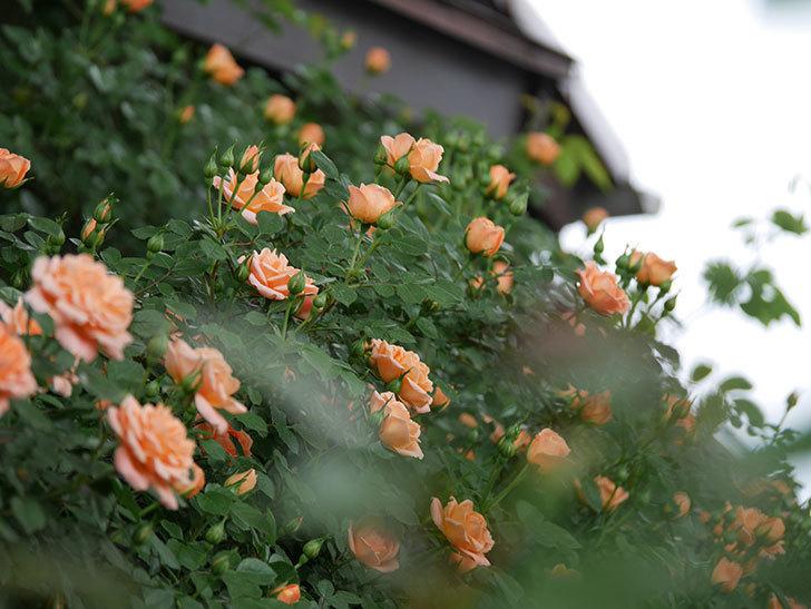 スイートドリーム(ツルバラ)の花が咲いた。2019年-6.jpg