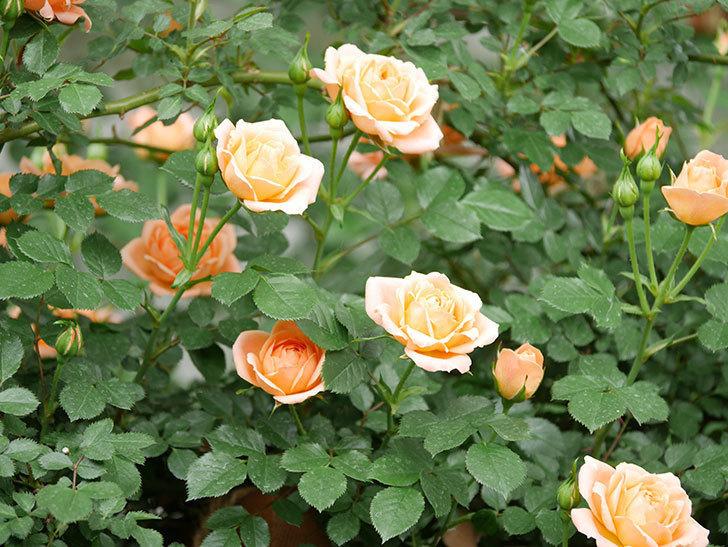 スイートドリーム(ツルバラ)の花が咲いた。2019年-7.jpg