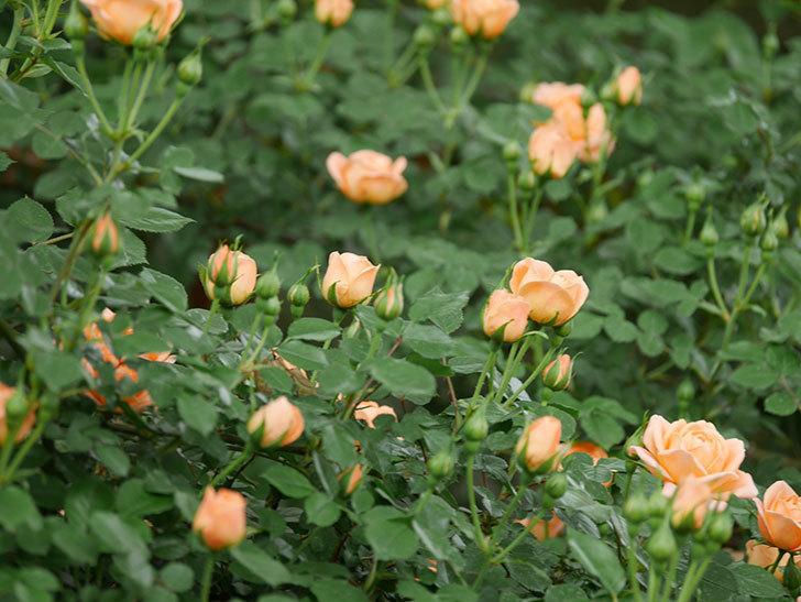 スイートドリーム(ツルバラ)の花が咲いた。2019年-8.jpg