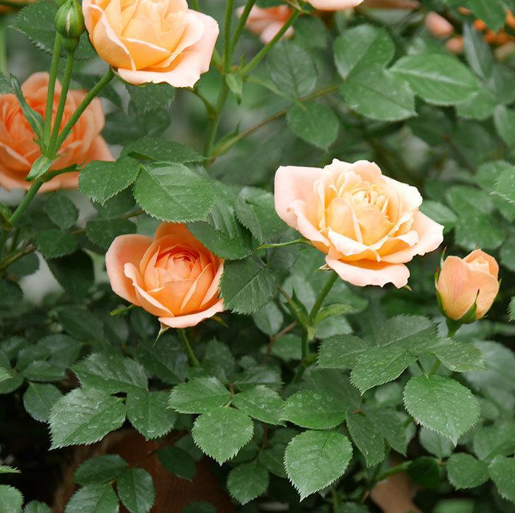 スイートドリーム(ツルバラ)の花が咲いた。2019年-9.jpg