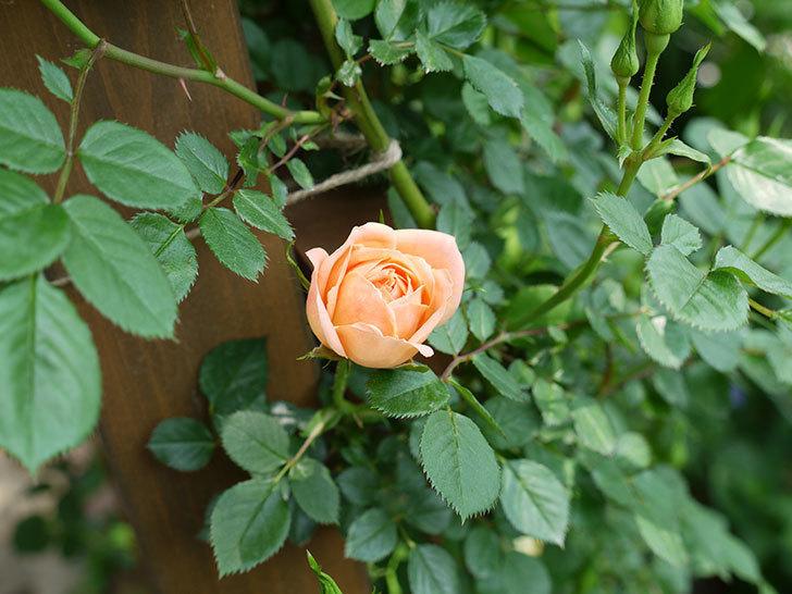 スイートドリーム(ツルバラ)の花が咲きだした。2017年-4.jpg
