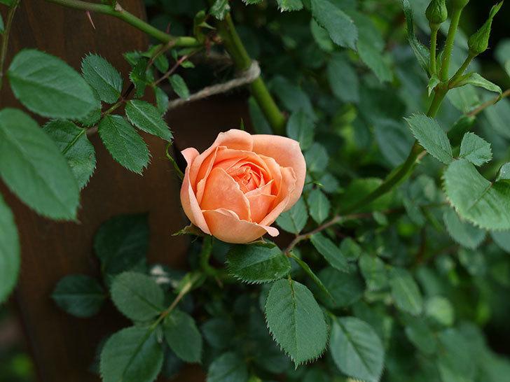 スイートドリーム(ツルバラ)の花が咲きだした。2017年-5.jpg