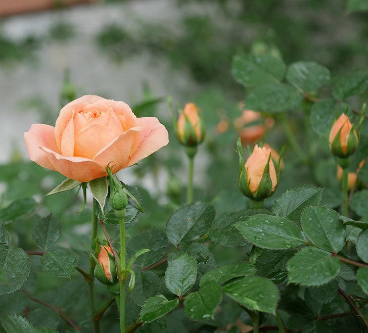 スイートドリーム(ツルバラ)の花が咲きだした。2020年-1.jpg