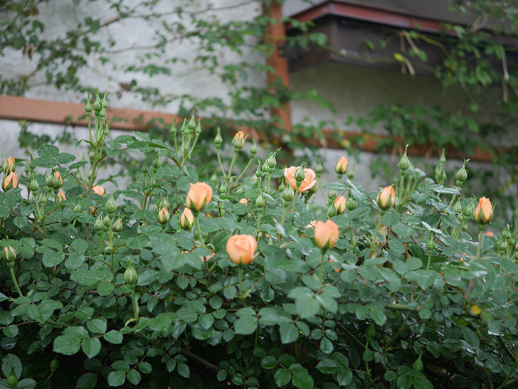 スイートドリーム(ツルバラ)の花が咲きだした。2020年-2.jpg
