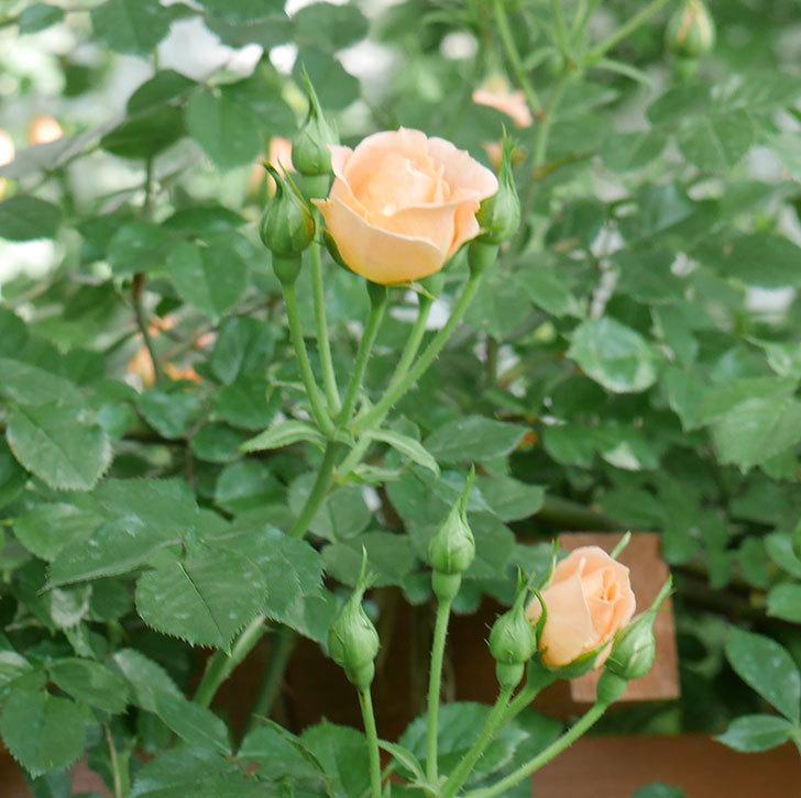 スイートドリーム(ツルバラ)の花が増えてきた。2018年-10.jpg