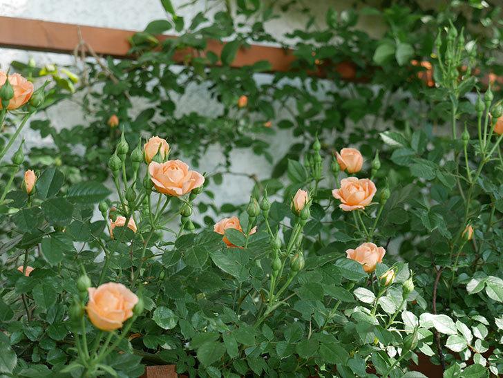 スイートドリーム(ツルバラ)の花が増えてきた。2018年-11.jpg