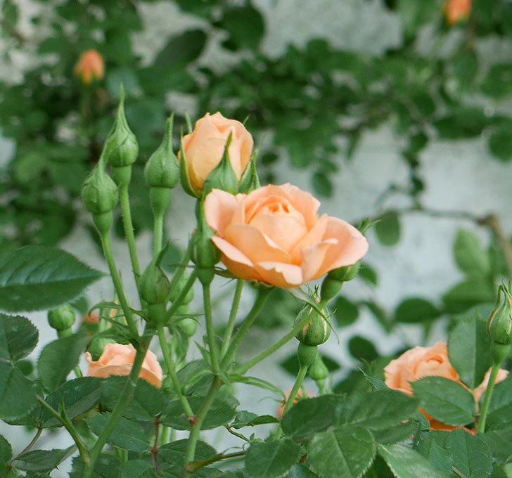 スイートドリーム(ツルバラ)の花が増えてきた。2018年-12.jpg