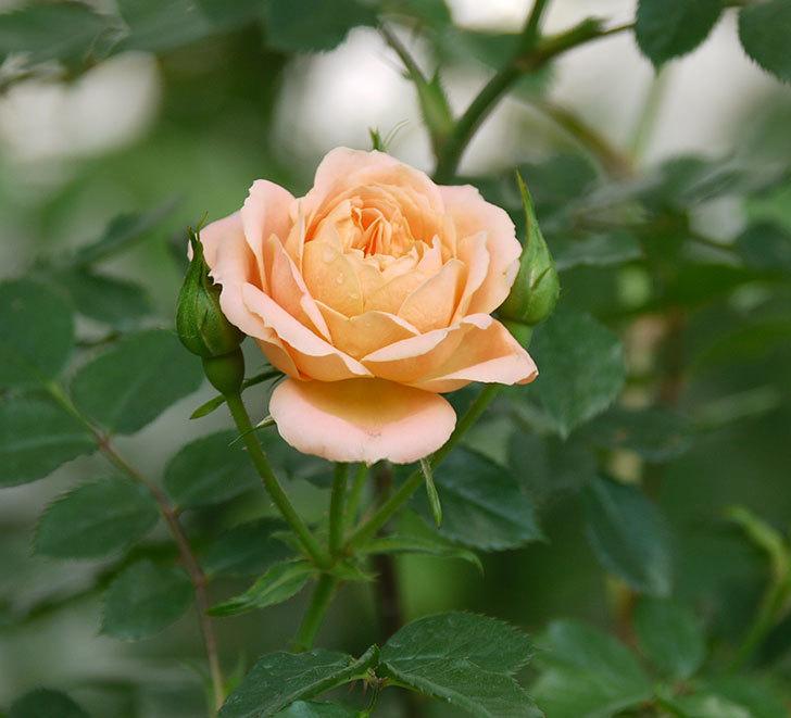 スイートドリーム(ツルバラ)の花が増えてきた。2018年-13.jpg