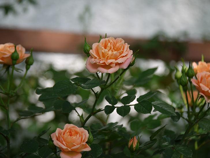 スイートドリーム(ツルバラ)の花が増えてきた。2018年-14.jpg