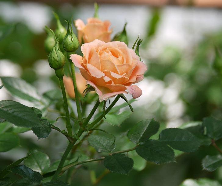 スイートドリーム(ツルバラ)の花が増えてきた。2018年-17.jpg