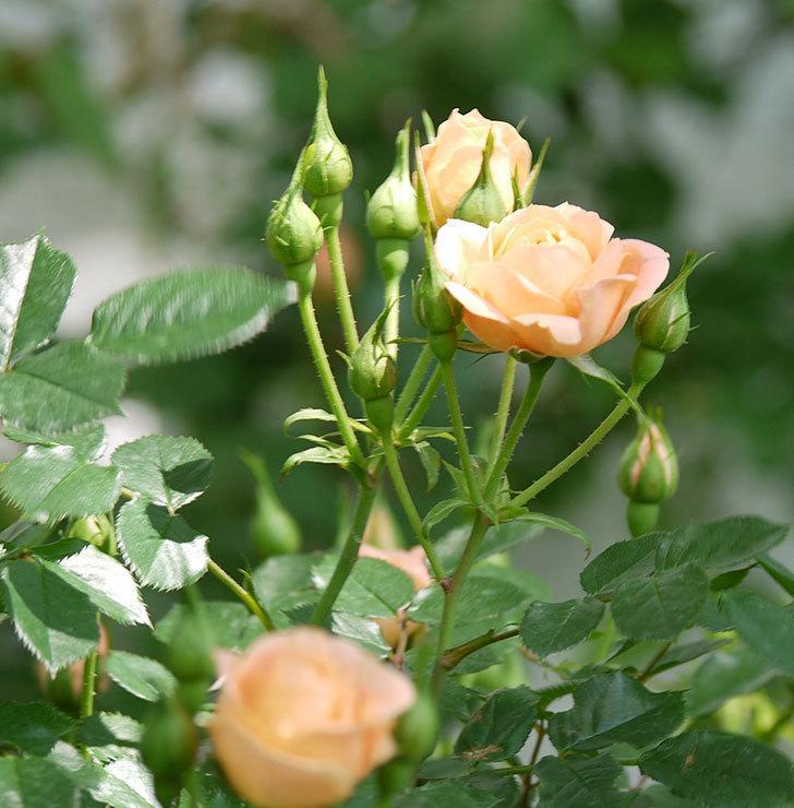 スイートドリーム(ツルバラ)の花が増えてきた。2018年-18.jpg