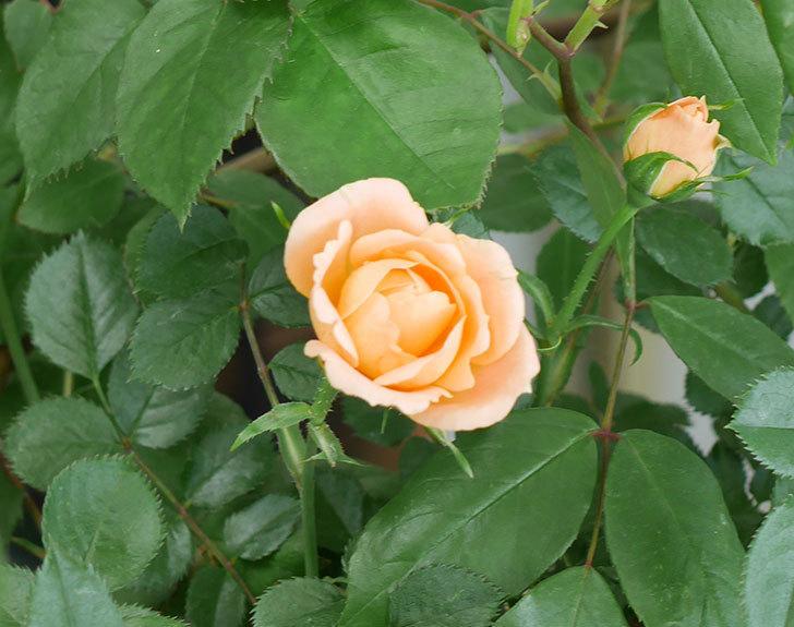 スイートドリーム(ツルバラ)の花が増えてきた。2018年-2.jpg