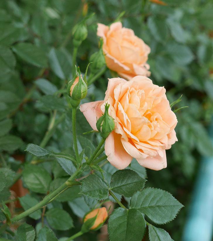 スイートドリーム(ツルバラ)の花が増えてきた。2018年-3.jpg