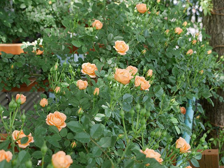 スイートドリーム(ツルバラ)の花が増えてきた。2018年-4.jpg