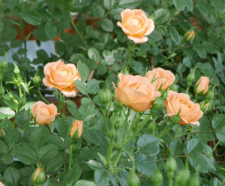 スイートドリーム(ツルバラ)の花が増えてきた。2018年-5.jpg
